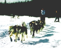 Dog Sled Races — Click for Larger Image